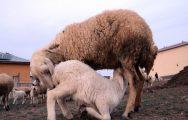 Kuzuların Koyunlara Kavuşma Anı